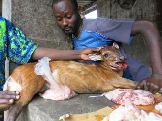 """Es gibt nicht mehr viele Tiere in der Nähe der Dörfer, die gejagt werden können. Als """"Antilope des Waldes"""" präsentieren stolze Männer das erlegte Tier, das sie mit einer Falle gefangen haben"""