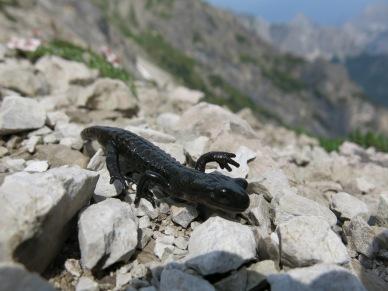 Alpensalamander (?)